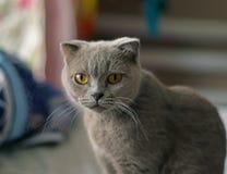 Posera för katt för skotskt veck grått arkivbild
