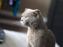 Posera för katt för skotskt veck grått royaltyfri bild