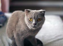 Posera för katt för skotskt veck grått arkivfoton