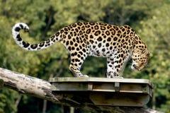 Posera för leopard Royaltyfri Fotografi