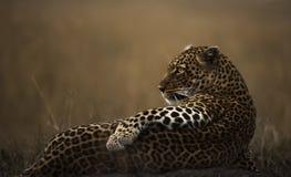Posera för leopard Royaltyfria Foton