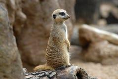 posera för meerkat Arkivbilder