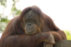 posera för orangutan Arkivbilder