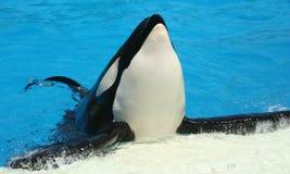 posera för orca Arkivfoto