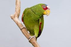 posera för papegoja Arkivfoton