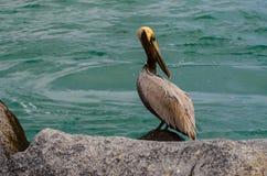 Posera för pelikan Royaltyfri Fotografi