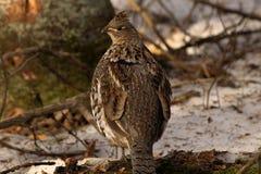 Posera för Ruffed skogshöns Fotografering för Bildbyråer