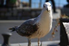 Posera för Seagull Arkivbilder