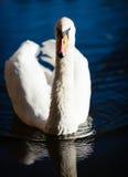 Posera för svan royaltyfri fotografi