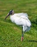 Posera för Wood stork Arkivbilder