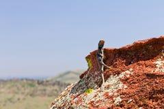 posera rock för färgrik ödla Royaltyfria Foton