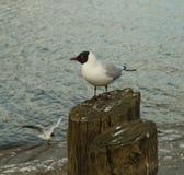 posera seagull Royaltyfri Fotografi