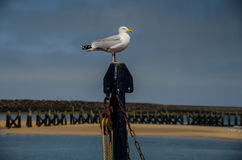 Posera seagullen i Northumberland arkivfoto
