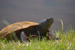 Posera sköldpaddan Royaltyfri Fotografi