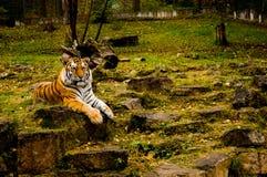 Posera tigern Arkivfoto