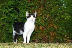 posera white för svart kattunge Arkivfoton