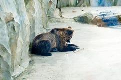 poserar brunt roligt för björn Fotografering för Bildbyråer