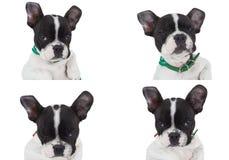 poserar gullig fransman fyra för bulldoggen arkivbild