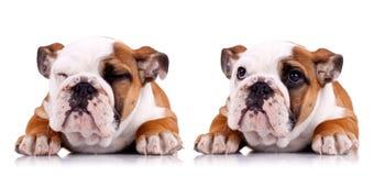 poserar gulligt engelska för bulldogg två mycket Royaltyfria Bilder