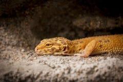 Poses bonitos do lagarto para a câmera Imagens de Stock Royalty Free