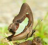 Poses comuns da borboleta do nawab para a câmera Fotos de Stock