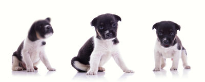 3 poses of cute puppy royalty free stock image