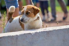 Poses de terrier de Jack Russell pour la photo Photo libre de droits
