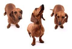 Poses do cão Fotos de Stock Royalty Free