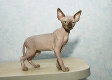 Poses do gato de Sphynx para uma sessão fotográfica Foto de Stock