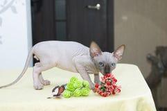 Poses do gato de Sphynx para uma sessão fotográfica Imagens de Stock Royalty Free