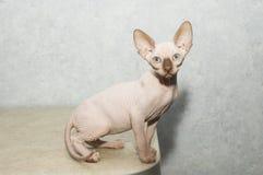 Poses do gato de Sphynx para uma sessão fotográfica Imagem de Stock