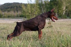Poses do pinscher do Doberman para a câmera Calma, maciça fotografia de stock