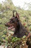 Poses do pinscher do Doberman para a câmera Calma, maciça imagens de stock royalty free