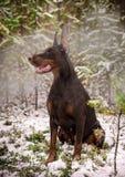 Poses do pinscher do Doberman para a câmera Calma, maciça fotografia de stock royalty free