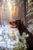 Poses do pinscher do Doberman para a câmera Calma, maciça imagem de stock royalty free