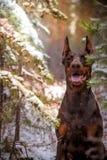 Poses do pinscher do Doberman para a câmera Calma, maciça imagens de stock