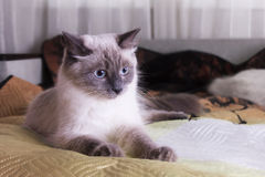 Poses mascaraing do gato de Nevsky Foto de Stock Royalty Free
