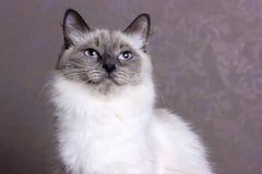 Poses mascaraing do gato de Nevsky Fotos de Stock Royalty Free