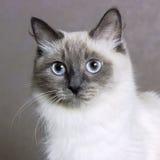 Poses mascaraing do gato de Nevsky Imagem de Stock