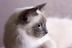 Poses mascaraing do gato de Nevsky Imagens de Stock