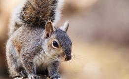 Poses orientales de Gray Squirrel dans la belle lumière d'après-midi Images stock