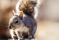 Poses orientales de Gray Squirrel dans la belle lumière d'après-midi Photo stock