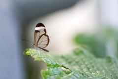 Poses transparentes de papillon d'ailes sur la feuille Image stock