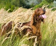 Poseur irlandais dans la haute herbe. Photo libre de droits