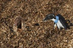 Poseur irlandais et whippet jouant dans des feuilles d'automne photos libres de droits
