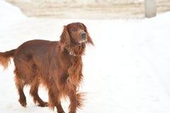 Poseur rouge irlandais de race de chien Photographie stock libre de droits