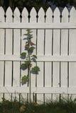 Posey на загородке Стоковое Фото