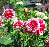 Posh motley dahlia flowers Royalty Free Stock Image