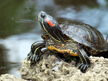 Posh turtle. Turtle waiting for audience  in a pond Stock Photos