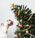 Posição adorável do cachorrinho do buldogue ao lado de uma árvore de Natal fotografia de stock